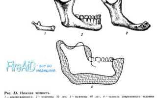 Строение нижней челюсти