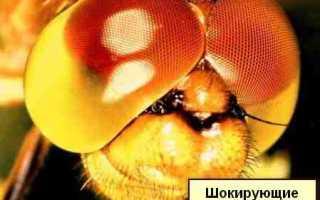 Сколько глаз у стрекозы