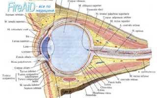 Внутренняя оболочка глаза